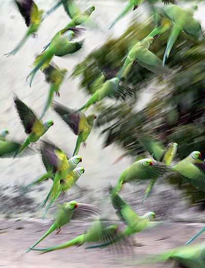 Parrots take off at a court yard of a house, Jammu