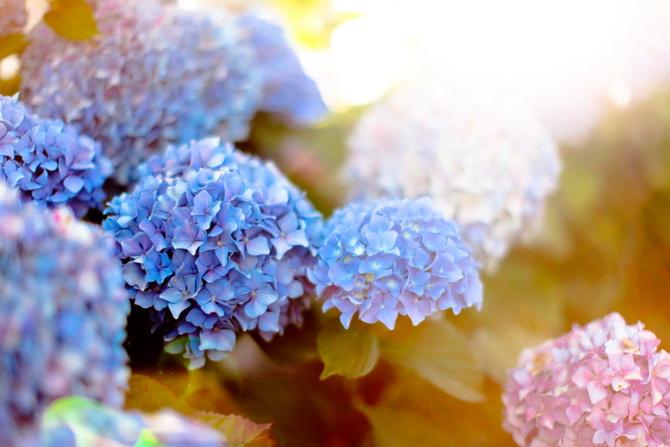 The Cherry Blossom Girl - Les Fleurs hortensia 03