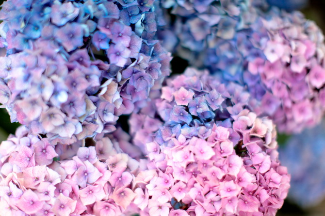 The Cherry Blossom Girl - Les Fleurs hortensia 10