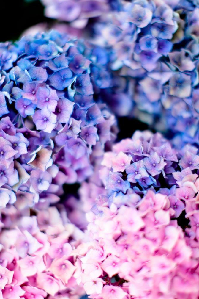 The Cherry Blossom Girl - Les Fleurs hortensia 11